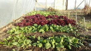 4.19.16 Nurturing Self Sufficiency - Fort Belknap Lettuce